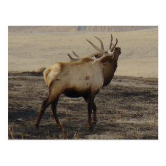 E0039 Bull Elk postcard