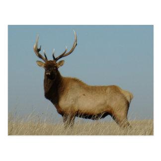 E0043 Bull Elk postcards