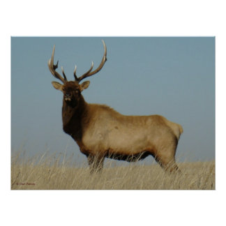 E0043 Young Bull Elk Poster