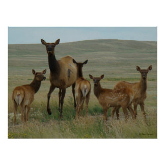 E0044 Cow Elk and Calves Poster