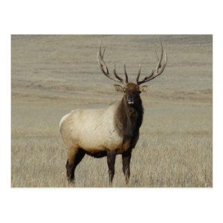 E0046 Bull Elk Postcard