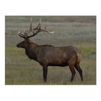 E0052 Bull Elk Post Cards