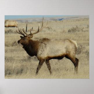 E0055 Bull Elk Poster