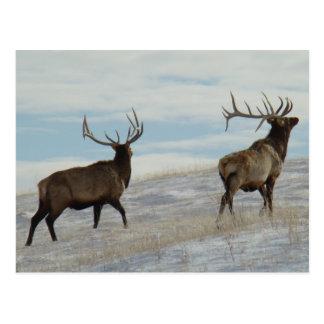 E0057 Bull Elk Lucky 13 Bull Postcard