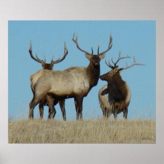 E0060 Bull Elk Sky Lined Poster
