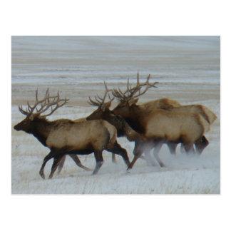 E0064 Bull Elk Postcard