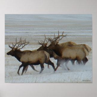 E0064 Bull Elk Poster
