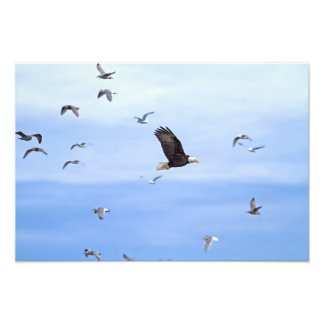 Eagle and Seagulls Flying Photograph
