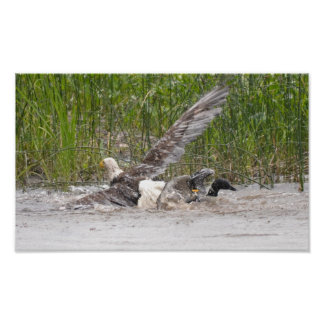 Eagle Attacking Loon Poster