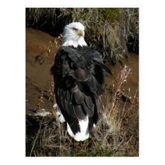 Eagle calvo adulto en la montaña del Ballyhoo Tarjetas Postales