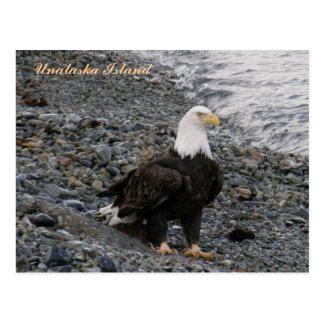 Eagle calvo adulto en la playa, isla de Unalaska Tarjetas Postales