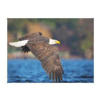 Eagle calvo adulto vuela bajo sobre el agua impresión en lienzo estirada