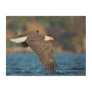 Eagle calvo adulto vuela bajo sobre el agua cuadro de madera
