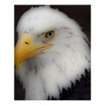 'Eagle calvo americano en Portrait Poster