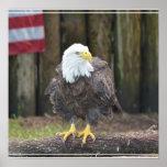 Eagle calvo americano encaramado en un registro poster