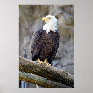 Eagle calvo americano icónico póster