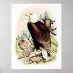 Eagle calvo americano posters