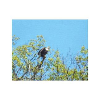 Eagle calvo americano que consigue listo para lona estirada galerias