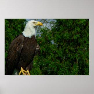 Eagle calvo americano real posters