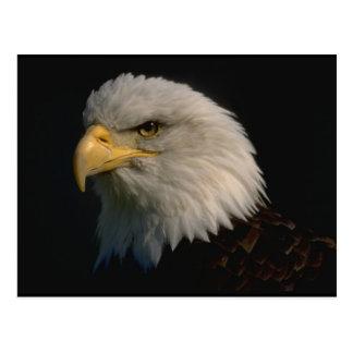 Eagle calvo americano tarjetas postales