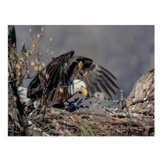 Eagle calvo con su bebé tarjeta postal