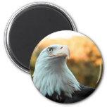 Eagle calvo contra las hojas de otoño imanes de nevera