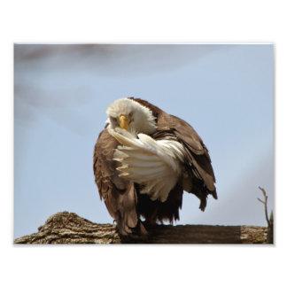 Eagle calvo (el pájaro que da el pájaro) cojinete