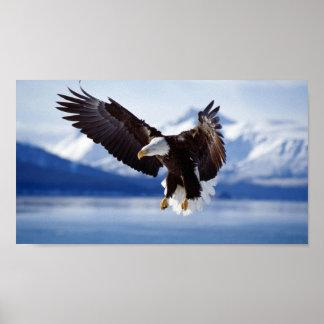 EAGLE CALVO EN ALASKA PÓSTER