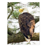 Eagle calvo en árbol de pino tarjeta postal