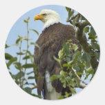Eagle calvo en árbol pegatina redonda