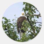 Eagle calvo en árbol pegatinas