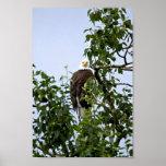 Eagle calvo en árbol posters