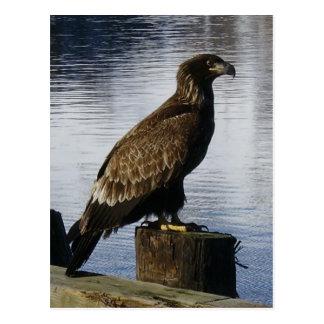 Eagle calvo en el muelle, isla de Unalaska Postales
