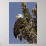 Eagle calvo en el parque nacional de Yellowstone d Impresiones