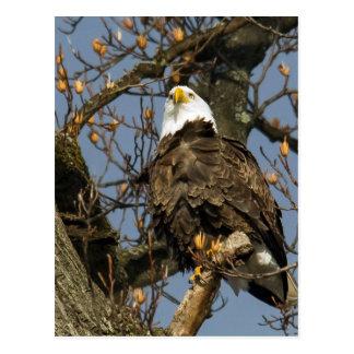 Eagle calvo en la perca de AHigh Postal