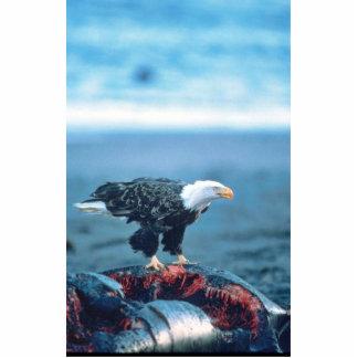 Eagle calvo en la res muerta de la ballena escultura fotografica