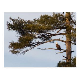 Eagle calvo en un árbol de pino postal