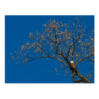 Eagle calvo en un árbol de tulipán postal