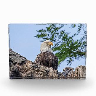 Eagle calvo en una rama de árbol