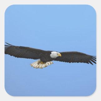 Eagle calvo en vuelo, home run, Alaska, Haliaetus Pegatina Cuadrada