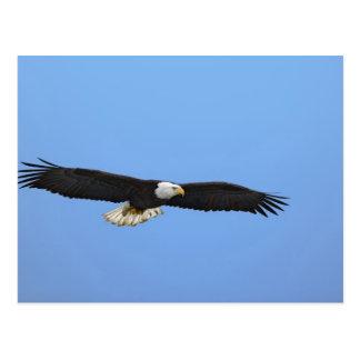 Eagle calvo en vuelo, home run, Alaska, Haliaetus Postales