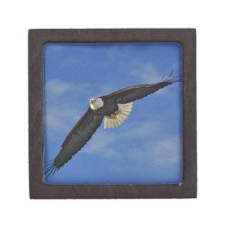 Eagle calvo en vuelo, leucocephalus de Haliaetus, Cajas De Recuerdo De Calidad