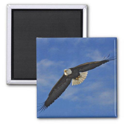 Eagle calvo en vuelo, leucocephalus de Haliaetus, Imán Cuadrado