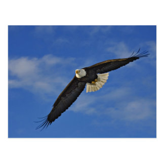 Eagle calvo en vuelo, leucocephalus de Haliaetus, Tarjetas Postales