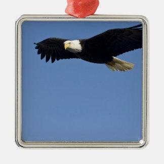 Eagle calvo en vuelo, leucocephalus del adorno cuadrado plateado