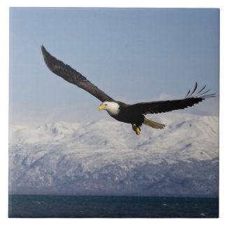 Eagle calvo en vuelo, leucocephalus del Haliaeetus Azulejos
