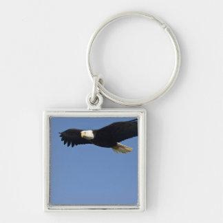 Eagle calvo en vuelo, leucocephalus del Haliaeetus Llavero Cuadrado Plateado