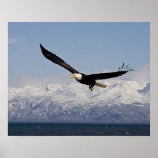 Eagle calvo en vuelo, leucocephalus del Haliaeetus Posters