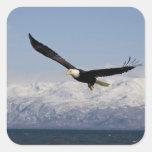Eagle calvo en vuelo, leucocephalus del pegatina cuadrada