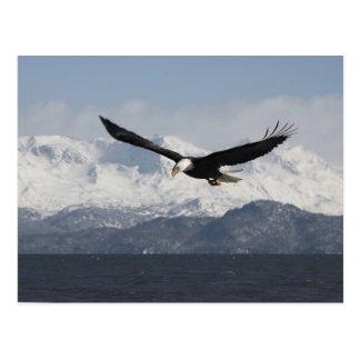 Eagle calvo en vuelo, leucocephalus del postales